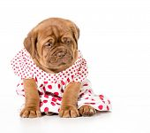 stock photo of dogue de bordeaux  - female puppy  - JPG