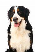 image of long tongue  - Bernese mountain dog - JPG