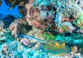 pic of stingray  - Blue Spotted Stingray on a tropical coral reef - JPG