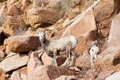 pic of crippled  - Mountain goats on the way to Cripple Creek - JPG