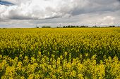 pic of rape-field  - Rape flowering time of the beginning of the summer fields of Lithuania - JPG