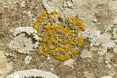 stock photo of lichenes  - Xanthoria parietina Yellow scale common orange maritime sunburst or shore lichen - JPG