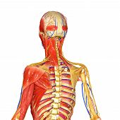 image of stability  - The musculoskeletal system provides form - JPG