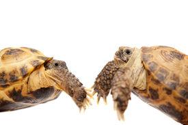 foto of russian tortoise  - Russian Tortoise or Central Asian tortoise - JPG