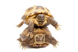 image of russian tortoise  - Russian Tortoise or Central Asian tortoise - JPG
