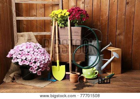 Chrysanthemum bush in wooden box on wooden wall background