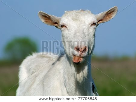 Goat Shows Tongue
