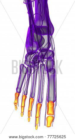 3D Render Illustration Of The Human Phalanges Foot
