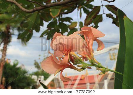 Pink Canna flower