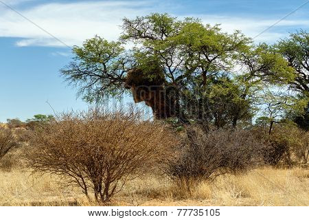 African Masked Weaver Big Nest On Tree