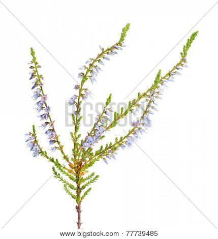 heather with light blue flowers isolated on white background