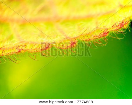 Lanate Close-up Leaf