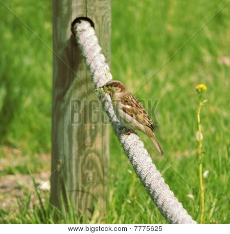 Sparrow With Nest Building Material