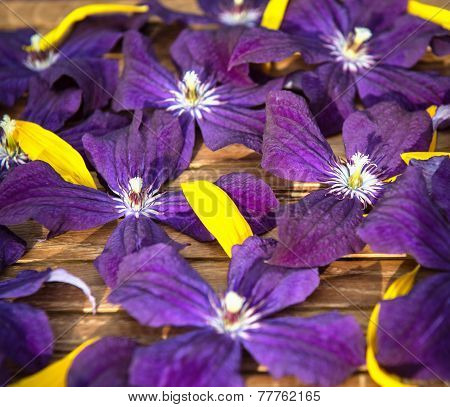 Flower background violet and yellow. Clematis blue flowers texture. Garden Ackmanii Clematis Backgro