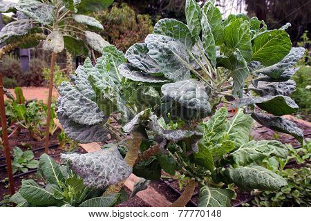 Dinosaur Kale in the Garden