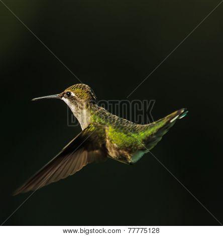 Hummingbird In-Flight