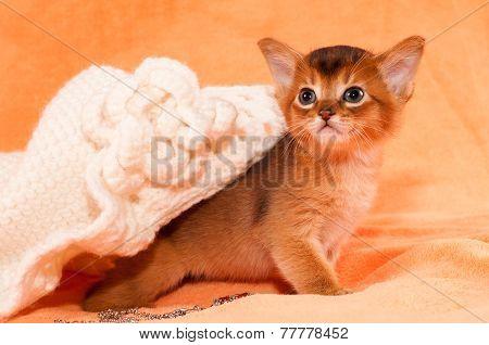 Abyssinian Kitten Portrait