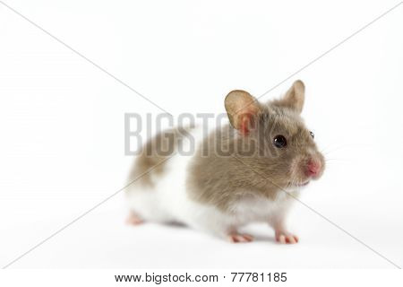 Hamster on white background