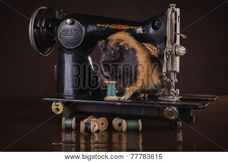 Guinea Pig Sitting On A Sewing Machine