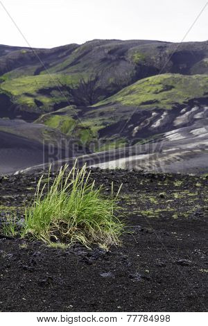 Grass Colonising A Bleak Lava Landscape