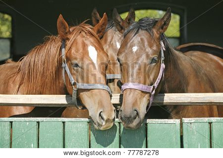Warm Blood Thoroughbred Horses At The Barn Door