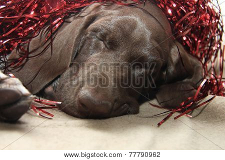Christmas Pointer With Red Tinsel