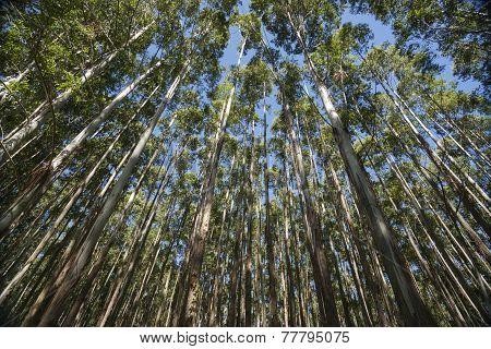 Hamakua Coast, Eucalyptus Trees.