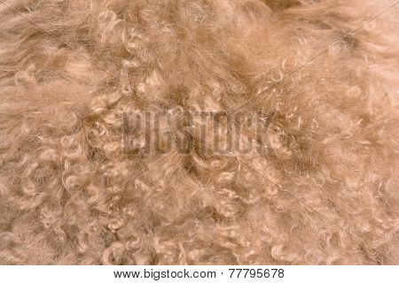 brown sheep fur texture may used as background.