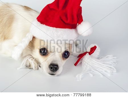 Chihuahua dog wearing Santa hat with pigtails