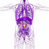 pic of pancreas  - 3d render medical illustration of the pancreas  - JPG