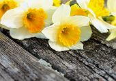 stock photo of daffodils  - Beauty Spring Yellow and White Daffodils closeup on Grey Weathered Wooden background - JPG