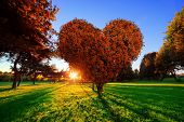 foto of maple tree  - Heart shape tree with red leaves in park - JPG