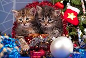 foto of blue spruce  - Cute siberian kittens near Christmas spruce with gifts over blue background - JPG