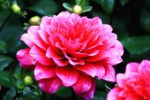 picture of bud  - Dahlia flowers and buds - JPG