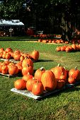 foto of desert christmas  - Pumpkins spread out in groups for the sale to make holiday pumpkin goodies and deserts