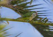 foto of parakeet  - Rose - JPG