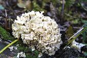 picture of fungus  - Cauliflower Fungus  - JPG