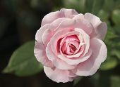 picture of guadalupe  - Rose, Pink, Flower, English Rose, Our lady of Guadalupe