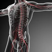 pic of human nervous system  - 3d rendered illustration of the male nervous system  - JPG