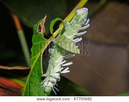 Atlas Moth (attacus Atlas)  Caterpillar