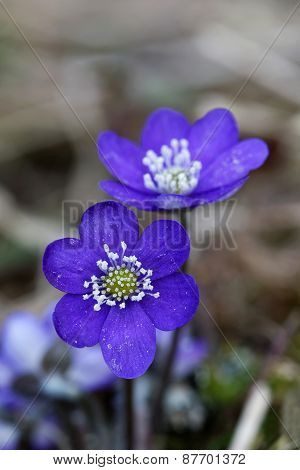 Two Blue Anemone Closeup