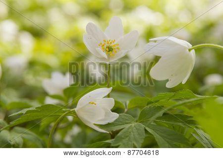 White Windflower