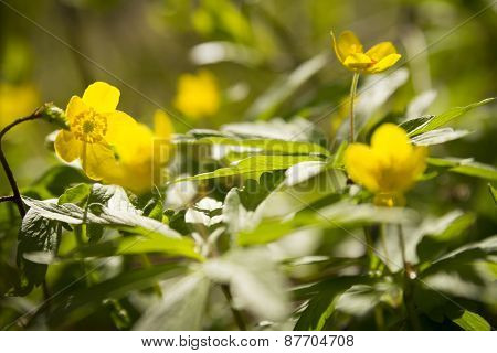 Yellow Windflower