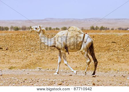 An Arabian or Indian Dromedary camel. A mode of transportation in Middle East since ancient times, i