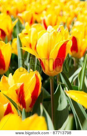 Fresh colorful tulips flower, Kuekenhof Netherland