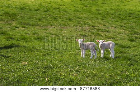 Two Curious Lambs