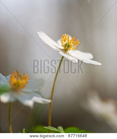 Windflower On Smooth Background