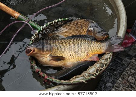 Live carps (Cyprinus carpio) on sale as a traditional Czech Christmas meal in Prague, Czech Republic.