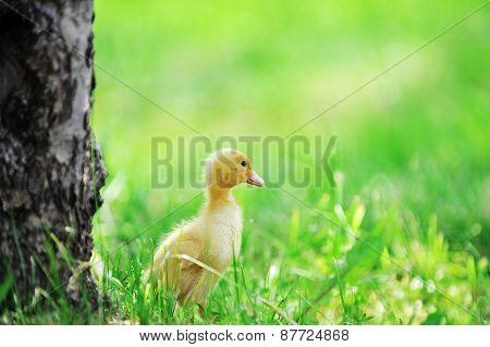 Small Ducklings  Green Grass