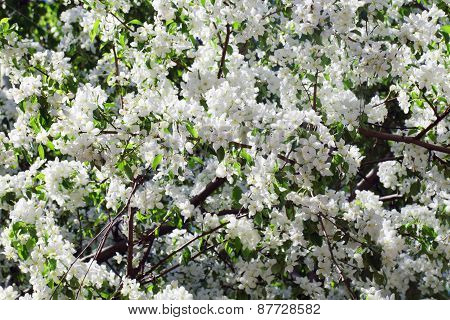 Beautiful Blooming Apple Tree Green Branches In Spring Sunny Day
